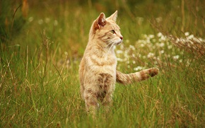 Picture cat, on the lookout, grass, summer, meadow, field, attentive, looking to the side, red, nature, …