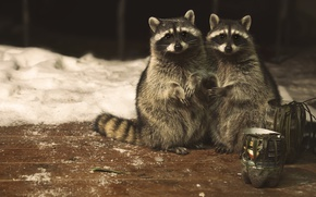 Wallpaper look, pair, raccoons