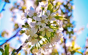 Picture branch, spring, petals, Bud, flowering, cherry