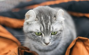 Picture eyes, cat, background, muzzle