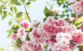 Picture tree, Flowers, spring, Sakura, flowering