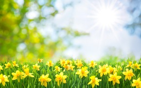 Picture flowers, flowering, the sun, the sun's rays, daffodils