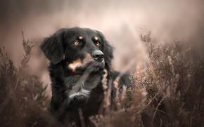 Picture grass, face, portrait, dog, Australian shepherd, Aussie