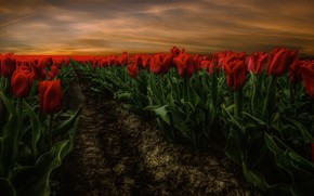 Picture flowers, nature, tulips