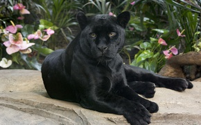 Wallpaper black Panther, wild cat, Jaguar, handsome, look