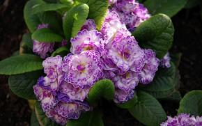 Picture macro, Primrose, Primula