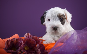 Picture baby, puppy, the Sealyham Terrier