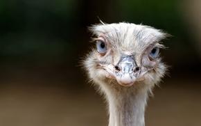 Picture look, bird, ostrich