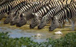 Picture nature, drink, Zebra