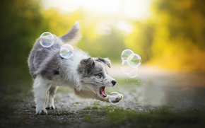 Picture the game, dog, bubbles, Alice, Australian shepherd, Aussie