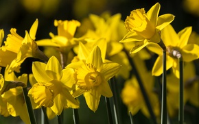 Picture spring, yellow, daffodils