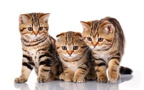 Picture kittens, trio, breed, Scottish fold