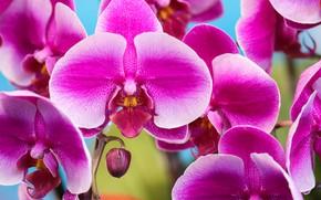 Picture macro, petals, Orchid, Phalaenopsis