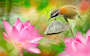Picture water, flowers, nature, tropics, bird, Lotus