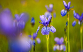 Picture flowers, green, background, blur, spring, purple, irises, lilac