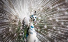 Picture nature, bird, peacock
