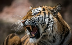 Wallpaper tiger, mouth, roar