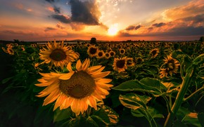 Picture field, the sky, sunflowers, sunset