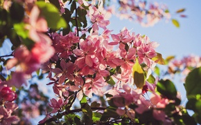 Picture the sun, sunset, flowers, tree, Apple, flowering, pink Apple, flowering Crabapple, red Apple