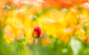 Picture flower, Tulip, spring