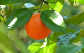 Picture leaves, branches, tree, orange, citrus, the fruit