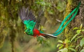 Wallpaper bird, Costa Rica, Quetzal, male