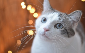 Picture cat, look, muzzle, blue eyes, bokeh