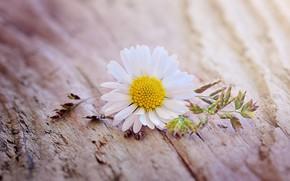 Wallpaper flower, macro, Daisy, flower, yellow, wood, blossom, daisy
