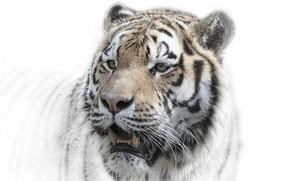 Wallpaper nature, background, tiger
