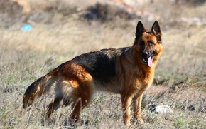 Picture language, the steppe, dog, German shepherd