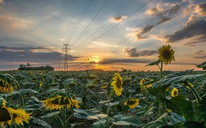 Picture field, Flowers, Sunrise, Morning, Sunflowers