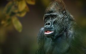 Wallpaper background, monkey, Gorilla