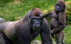 Wallpaper monkey, primates, zoo, Rotterdam Zoo