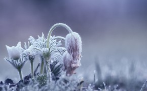 Picture frost, flowers, morning, frozen