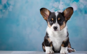 Wallpaper Corgi, puppy, muzzle, cute
