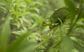 Picture green, chameleon, disguise