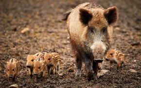 Picture nature, family, boars