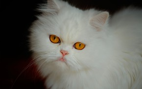 Picture cat, look, muzzle, white, fluffy, Persian cat