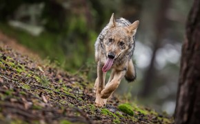Picture forest, nature, wolf