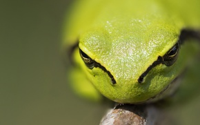 Picture macro, nature, frog