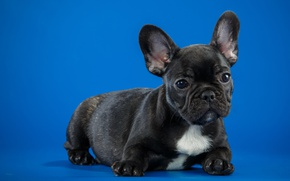 Wallpaper breed, puppy, French bulldog