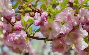 Wallpaper flowers, nature, holiday, beauty, spring, may, flowering, almonds