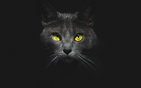 Picture eyes, cat, look, face, black background, Kote