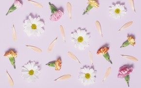 Picture chamomile, petals, pink, buds, pink, flowers, cute, clove, camomile, tender