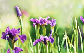 Picture greens, flower, purple, flowers, green, background, figure, graphics, treatment, picture, spring, art, painting, buds, irises, …