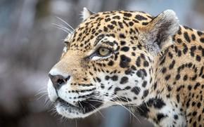 Picture eyes, face, predator, Jaguar