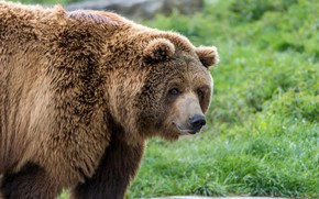 Picture bear, large, grizzly