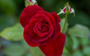 Picture macro, rose, petals, buds, velvet