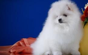 Picture white, cute, Spitz