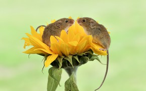Wallpaper nature, sunflower, mouse, the mouse is tiny